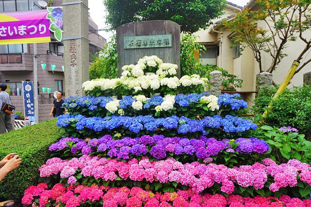 ajisai-matsuri7 第35回文京あじさいまつり白山神社